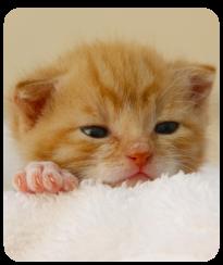 webinar afef on air stefano marelli benessere allevamento felino associazione gatti di razza